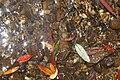 Blue Mountains Stream with leaves of Elaeocarpus holopetalus & Atherosperma moschatum.jpg
