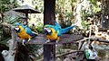 Blue and yellow macaws in South Africa.jpg