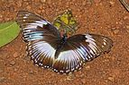 Blue diadem (Hypolimnas salmacis salmacis) male.jpg