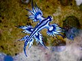 Blue dragon-glaucus atlanticus (8599051974).jpg