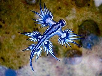 Glaucus atlanticus - The slug in the water