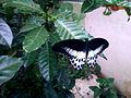 Blue mormon(Papilio polymnestor) on Tabernaemontana divaricata at Bakkannapalem 01.jpg