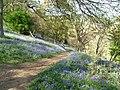 Bluebell woods at Winkworth - geograph.org.uk - 569902.jpg