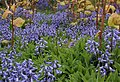 Bluebells - geograph.org.uk - 446316.jpg