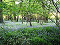 Bluebells and Trees on the Boundary of the Field - geograph.org.uk - 423346.jpg