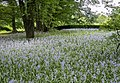 Bluebells in BBG (54538).jpg