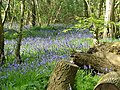 Bluebells in Reydon Wood - geograph.org.uk - 251862.jpg