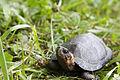 Bog turtle (18120958593).jpg
