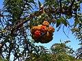 Bomarea fruits Costa Rica.jpg