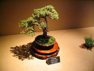 Bonsai IMG 6421.jpg