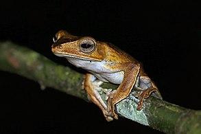 Borneo file-eared frog (Polypedates otilophus).jpg
