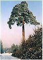 Borovice lesní zvaná U Obrázku u Nechanic.jpg