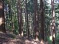 Bosco di abeti nel monte Camurcina - panoramio.jpg