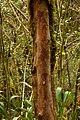 Bosque en el Mirador - Génova - Quindío (2) - Flickr - Alejandro Bayer.jpg