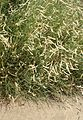 Bouteloua gracilis 'Blonde Ambition' kz2.jpg