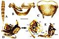Brachylatindia xui (10.3897-zookeys.867.35991) Figure 3.jpg