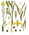 Brassica napus - Köhler–s Medizinal-Pflanzen-169.jpg