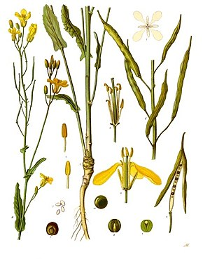Raps (Brassica napus), Illustration