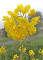 Brassica rapa subsp. oleifera, raapzaad bloemen.jpg