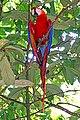 Brazil-00693 - Macaw (48972660316).jpg