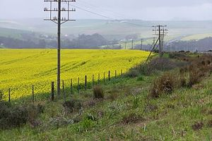 Bredasdorp - Canola fields near Bredasdorp