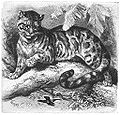 Brehms Het Leven der Dieren Zoogdieren Orde 4 Nevelpanter (Felis nebulosa).jpg