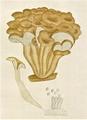 Bresadola - Lentinus cochleatus.png
