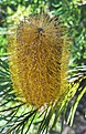 Bribie Island Banksia-3 (35035088694).jpg