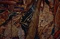 Brilliant-thighed Poison Frog (Allobates femoralis) (10378809686).jpg