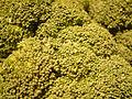 Broccoli, DSCF2073.jpg