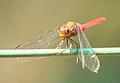 Brown-backed Red Marsh Hawk 01 @ Kanjirappally.jpg