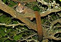 Brown Greater Galago (Otolemur crassicaudatus) (31812658647).jpg
