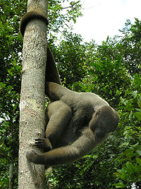 Brown Woolly Monkey.jpg
