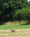Brown hare (Lepus europaeus) legging it - geograph.org.uk - 1411352.jpg