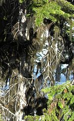 Fúzatec hrivnatý - rastie na stromoch