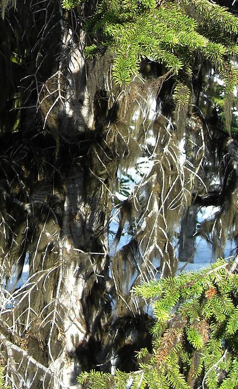 Fúzatec hrivnatý (Bryoria fuscescens)