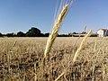 Buğday başağı 02.jpg