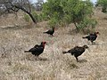 Bucorvus leadbeateri -Kruger National Park -four-8.jpg