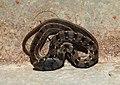 Buff-striped Keelback Amphiesma stolatum by Dr Raju Kasambe DSCN0502 (4).jpg