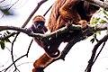Bugio-ruivo (Alouatta guariba) - Howler monkey.jpg