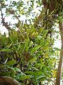 Bulbophyllum rosemarianum Sath.Kumar, P.C.S.Kumar & Saleem (6673870257).jpg