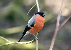Bullfinch at Pennington Flash.jpg