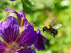 Bumblebee in flight.jpg