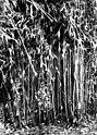 Bundesarchiv Bild 135-S-16-25-39, Tibetexpedition, Bambusbewuchs.jpg