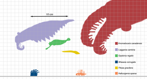Pikaia - Scale diagram of various Burgess Shale invertebrates, P. gracilens in yellow
