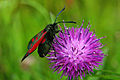 Burnet Moth and Knapweed, Pentwyn Farm, Penallt.jpg