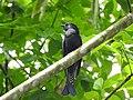Burung Srigunting hitam (Black drongo).jpg