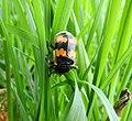 Burying beetle (27501436433).jpg