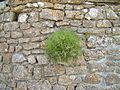 Bush on wall.jpg