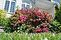 Bush with tiny pink flowers - panoramio.jpg